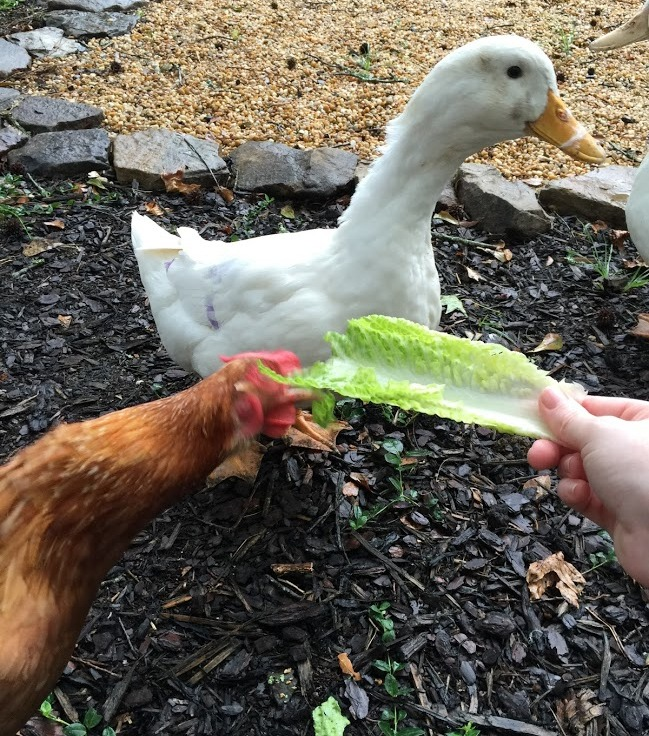 Can Ducks & Chickens Live In The Same Coop? by The Homestead Kings