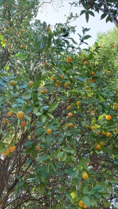 Calamondin tree - The Homestead Kong's